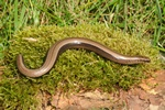 Slow-worm (Anguis fragilis)